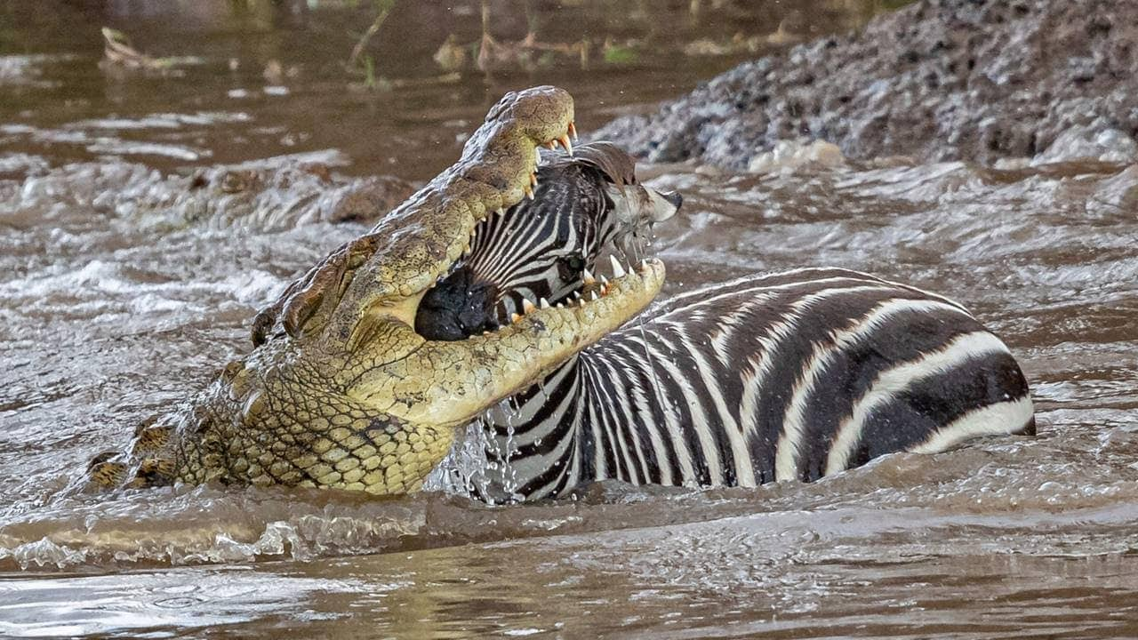 Aligator air asin, predator terhebat